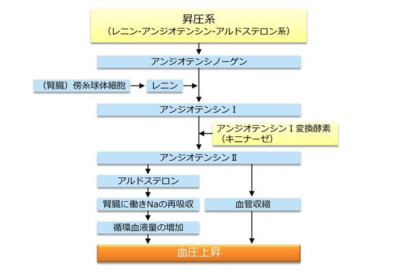 レニン・アンギオテンシン・アルドステロン系の作用についてまとめた図