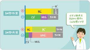 細胞内にいちばん多く存在するのはカリウムであることを示す図