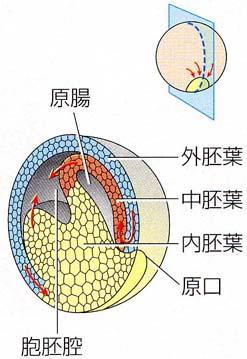 消化管の原基・原腸の図