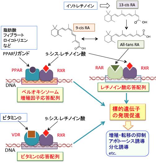 ひとつの核内受容体が複数の異なるリガンドにより活性化され得る過程を示した図
