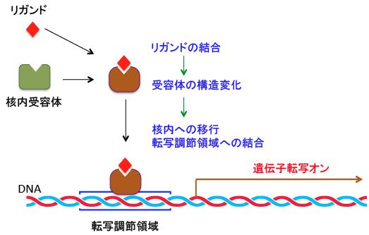 核内受容体が標的遺伝子のプロモーター エンハンサー領域に存在する結合領域に結合する過程を示す図