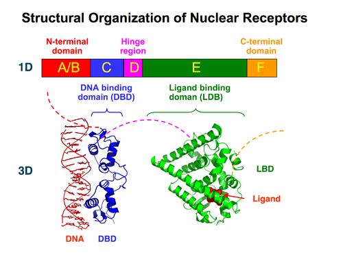 核内受容体の構造図