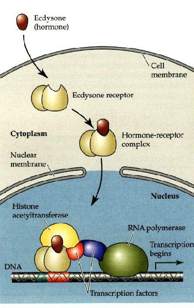 リガンドが核内受容体に結合して遺伝子発現が制御される全体の過程をまとめた図