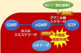 NOがサイクリックGMP を合成させ細胞内シグナル伝達に関与することの説明図