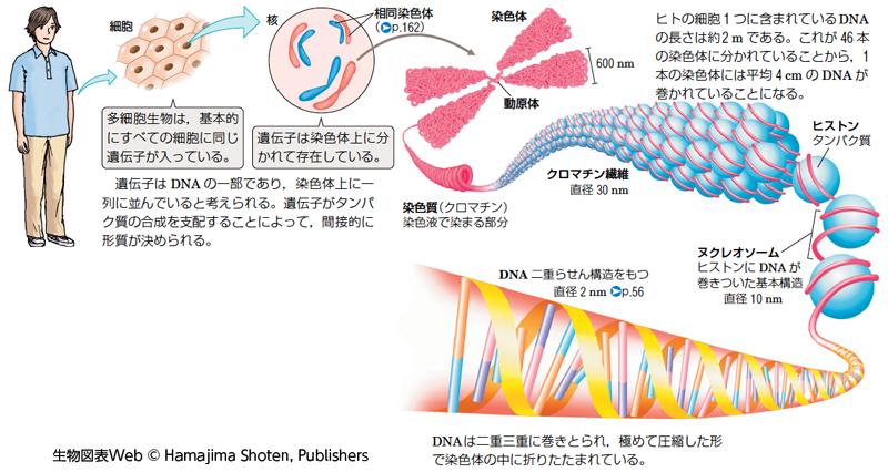 DNAがクロマチン構造を作る過程の説明図