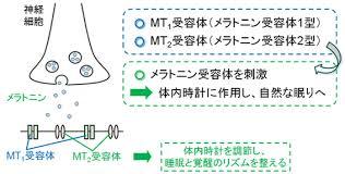 メラトニン受容体への結合と作用機序を示した図