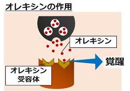 オレキシンの作用を示す図