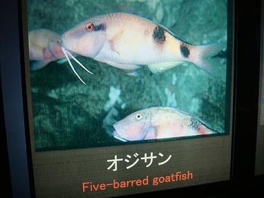 魚の「おじさん」が泳いでいる写真