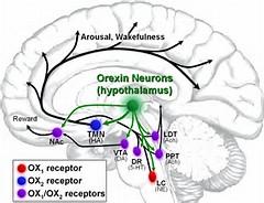 オレキシンの受容体の脳内における発現部位を示す図