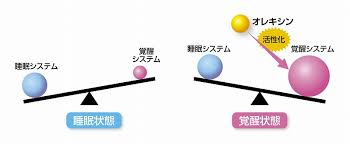 オレキシンが覚醒状態を活性化し 維持・安定化させている重要な物質であることを示す図