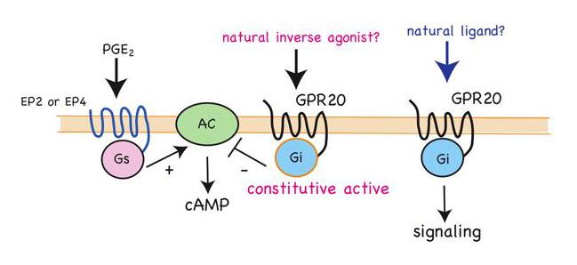 リガンドも機能もわかっていないGタンパク質共役受容体を列記した表