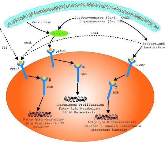 既知の核内受容体のリガンドが代謝に関連する化合物であることを示す図1