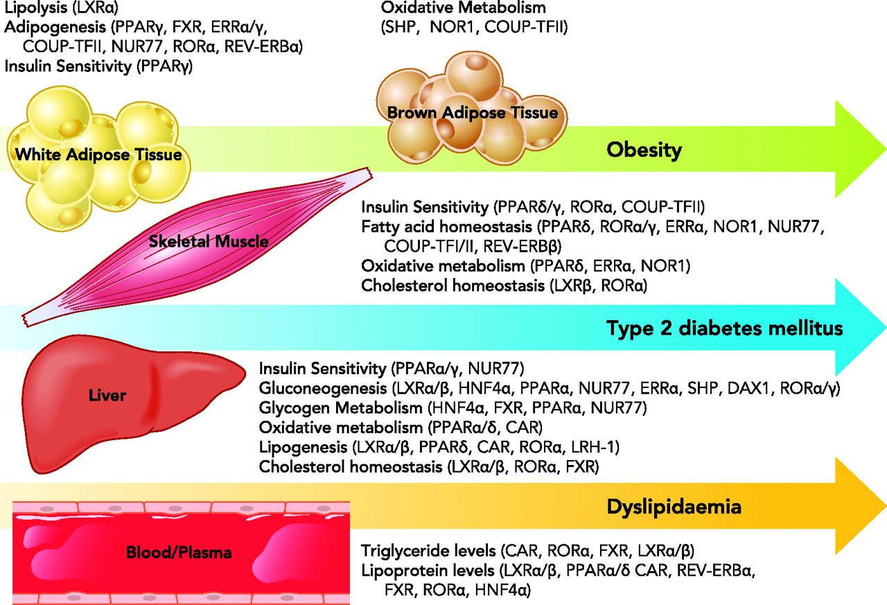 代謝産物がオーファン受容体のリガンドとして糖尿病 肥満などの病態形成に関与することを示す図