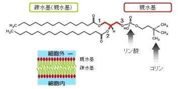 リン脂質の構成成分であることを示す図