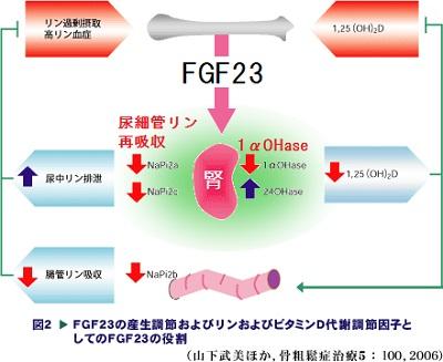 FGF23の作用をまとめた図