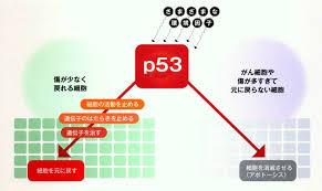 p53の機能を説明する図