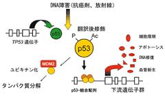 p53が転写因子として機能を発現するメカニズムを示した図