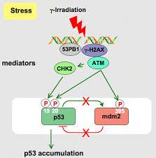 p53が分解を受けなくなる機序を説明した図