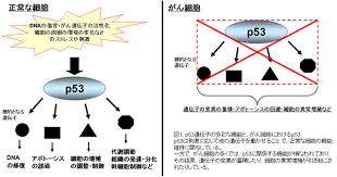 がん細胞ではp53が機能しないことを示した図