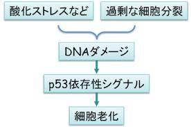 p53のシグナルが老化を誘導することを示した図