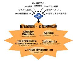 p53が心臓病や肥満・糖尿病の病態に関与することを示した図