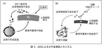 p53による心不全誘導の機序を説明した図