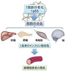 脂肪のp53活性化によりインスリン抵抗性が誘導されることを示す図