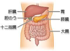 お腹のなかの膵臓の位置