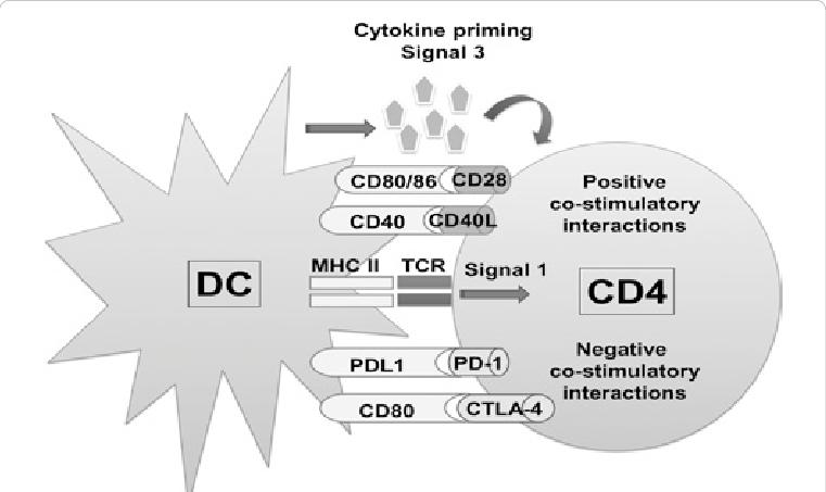 CD4とDC間のシグナル伝達について説明した図
