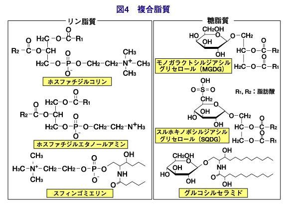 複合脂質の構造