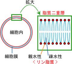 細胞膜を構成するリン脂質による脂質二重層構造の図示