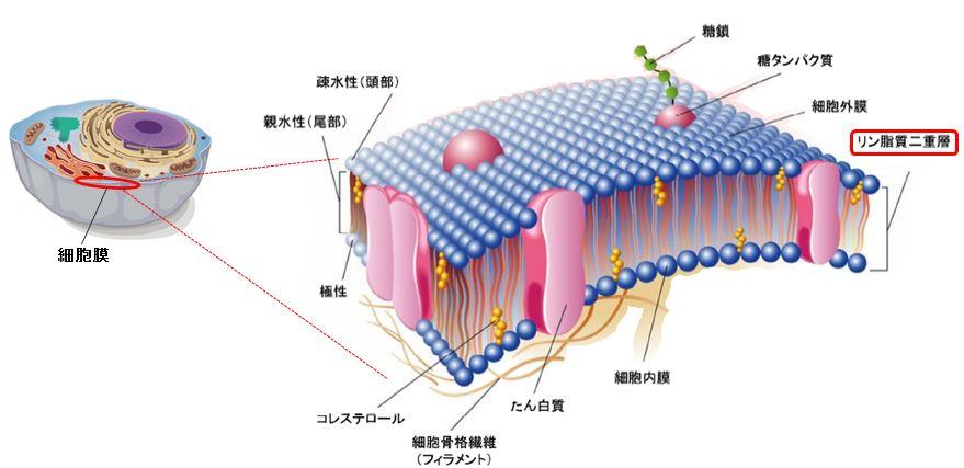 細胞膜の構造
