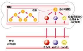 赤血球 白血球 血小板を作る骨髄の図