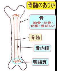 骨の中の骨髄が存在する部位の図師