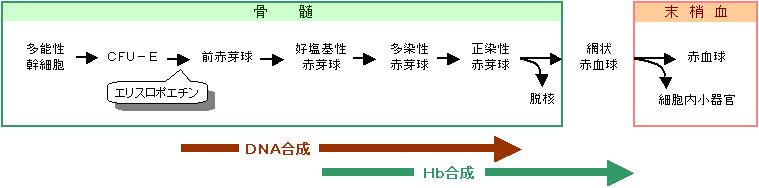 赤血球が分化する過程を示す図