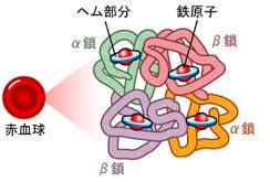 グロビンとヘム鉄が結合してヘモグロビンを構成することを示す図