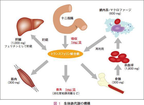 体内のさまざな臓器に鉄を運ぶトランスフェリンの役目を示す図