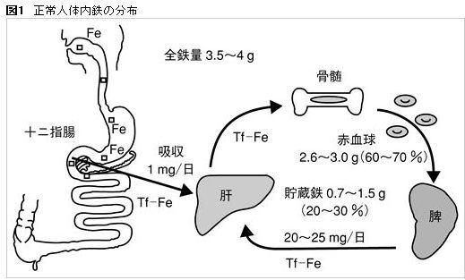 体内に存在する鉄の分布
