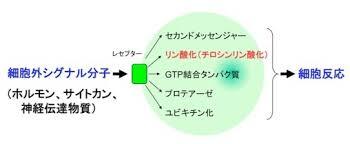 ホルモンやサイトカインなどが情報伝達物質として受容体を介して細胞に働きかけ反応を起こさせる様子を示した図
