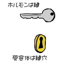 鍵と鍵穴の関係にたとえられるリガンドと受容体の関係を示す図