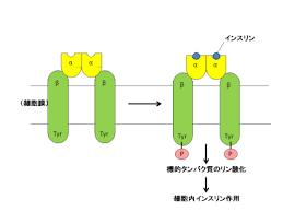 インスリンが受容体に結合して 受容体に結合した酵素活性部位により標的タンパク質がリン酸化され細胞内に情報が伝わる様子