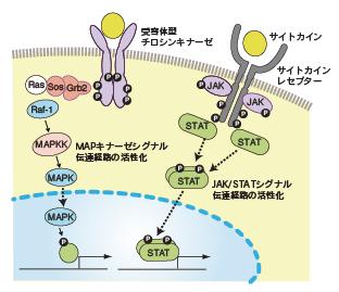 酵素活性部位が酵素を活性化し 細胞内で連鎖的に情報が伝わり 最終的に核に至り遺伝子転写が開始される様子