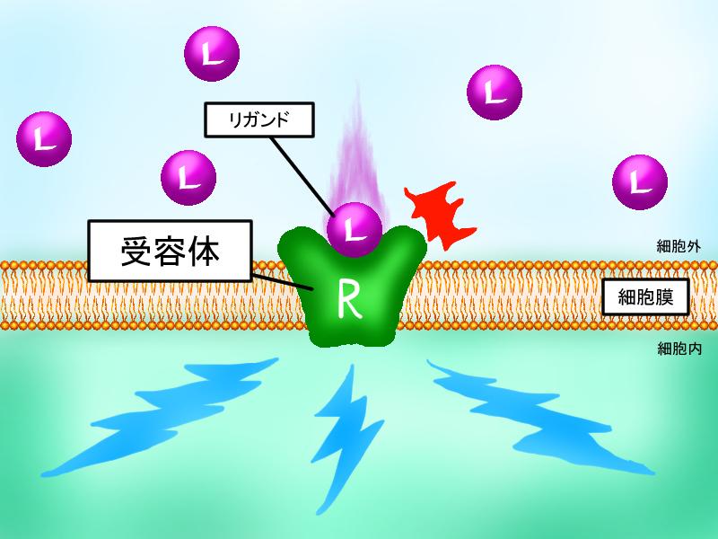 リガンドが結合して 受容体が活性化されることにより細胞内の情報伝達系が動き始めることを示す図