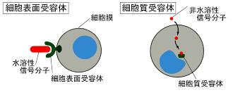 細胞膜受容体 細胞質受容体 の違いを示す図