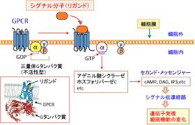 活性化されたGタンパク質が細胞内に情報を伝達するセカンドメッセンジャーを合成する酵素を活性化して 細胞内に情報が伝わる様子