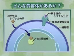 細胞内での細胞質受容体 核内受容体の分布を示す図