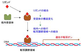 リガンドで活性化された受容体が構造変化を起こして核内のDNAの特定配列に結合して遺伝子の転写を開始させることを示す図