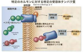 ホルモンが細胞膜 細胞質の受容体に結合する様子を示した図