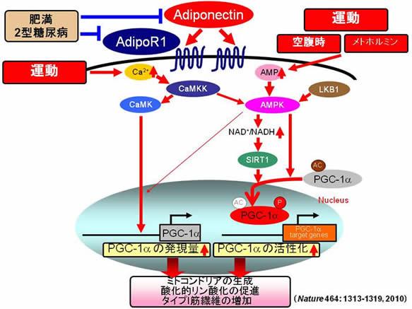 アデイポネクチンによるPGC-1α活性化の機序の解説図