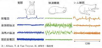 ネコのレム睡眠 ノンレム睡眠について説明した図